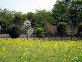 春・菜の花